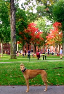 Gracie, the MetaCambridge greyhound, enjoying a fall day in Harvard Yard